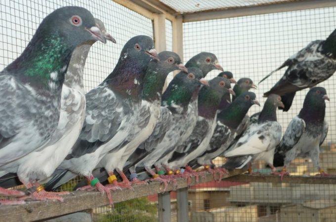 Energizantele pentru recuperarea porumbeilor dupa efort